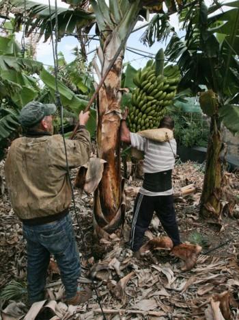 03032011-20110303-cortando-fruta-el-apio-y-empaquetado-3713