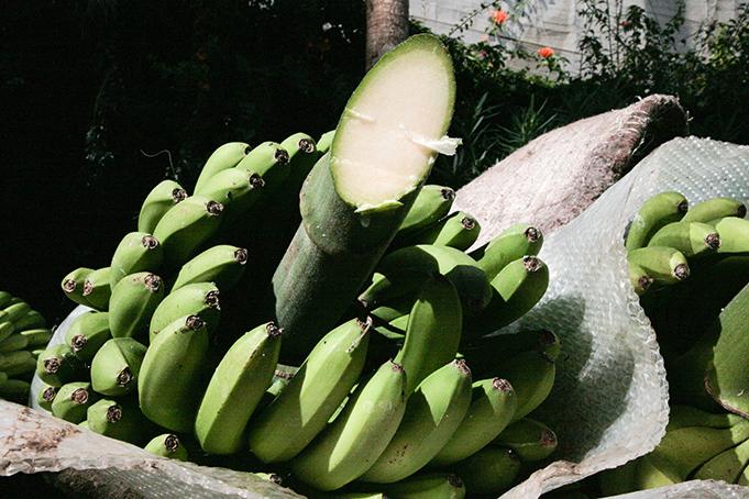 03032011-20110303-cortando-fruta-el-apio-y-empaquetado-41