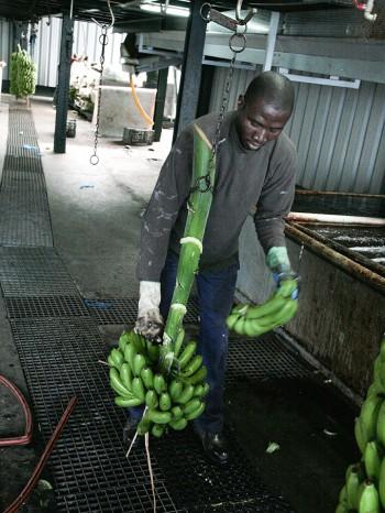 03032011-20110303-cortando-fruta-el-apio-y-empaquetado-481