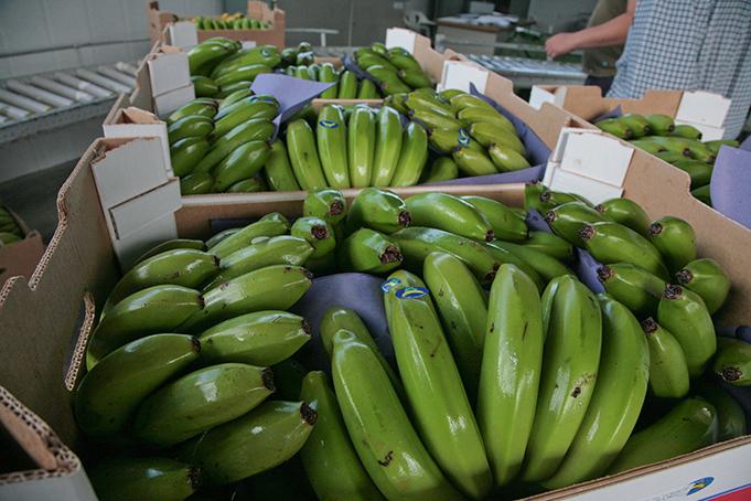 03032011-20110303-cortando-fruta-el-apio-y-empaquetado-74